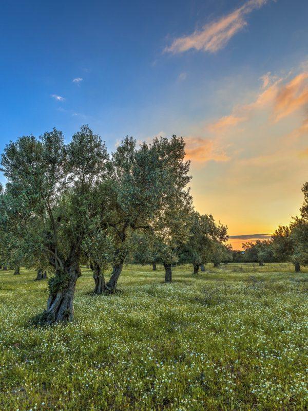 Olive oil rhodes