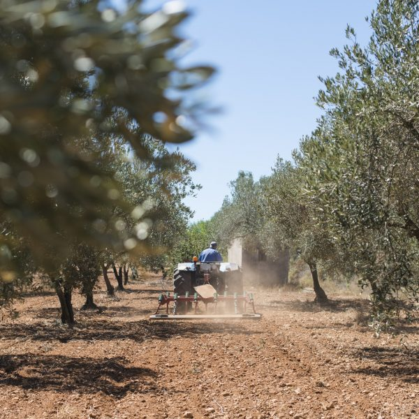 Tractor and olive trees